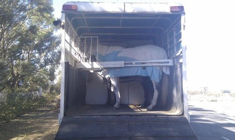 Hino FD176 4 Horse Angle Load Horse Truck transport for sale Vic